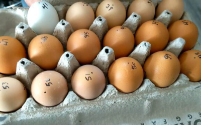 Incubating Chicken Eggs: Step 2, Setting the Eggs